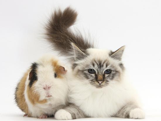 Tabby Point Birman Cat and Guinea Pig, Gyzmo-Mark Taylor-Photographic Print