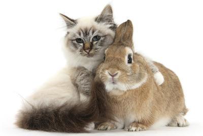 Tabby-Point Birman Cat with Paw Round Sandy Netherland-Cross Rabbit-Mark Taylor-Photographic Print