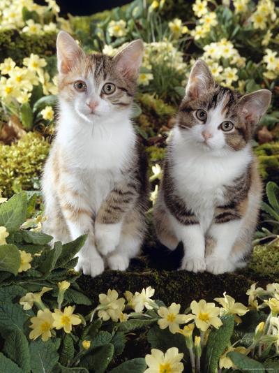 Tabby-Tortoiseshell-And White Kittens, 11-Week Sisters, Among Pink and Yellow Primroses-Jane Burton-Photographic Print