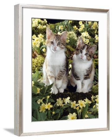 Tabby-Tortoiseshell-And White Kittens, 11-Week Sisters, Among Pink and Yellow Primroses-Jane Burton-Framed Photographic Print
