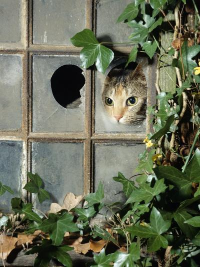 Tabby Tortoiseshell in an Ivy-Grown Window of a Deserted Victorian House-Jane Burton-Photographic Print