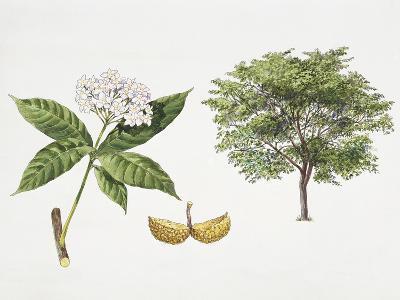 Tabernaemontana Fuchsiifolia Plant with Flower, Leaf and Fruit--Giclee Print