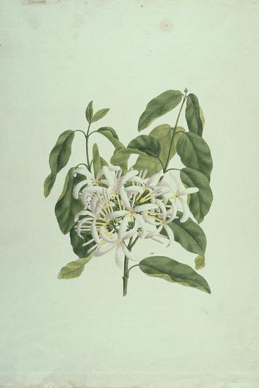 Taberne Montana (Leaves and Flowers)-James Bruce-Giclee Print