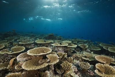 Table Corals (Acropora)-Reinhard Dirscherl-Photographic Print