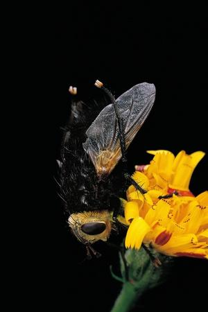 https://imgc.artprintimages.com/img/print/tachina-grossa-giant-tachinid-fly_u-l-pzqqmx0.jpg?p=0