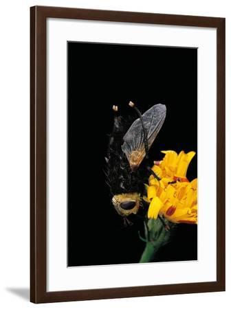Tachina Grossa (Giant Tachinid Fly)-Paul Starosta-Framed Photographic Print