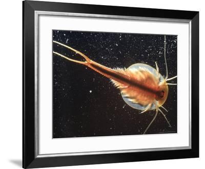Tadpole Shrimp, Dorsal View, Backlit-Andy Park-Framed Photographic Print