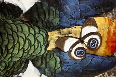 Taenaris Bioculatus Butterfly on Lady Amherst Pheasant Feather Design-Darrell Gulin-Photographic Print