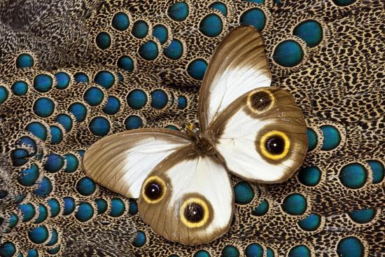 Taenaris Catops Butterfly on Malayan Peacock-Pheasant Feather Design-Darrell Gulin-Photographic Print