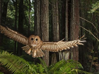 Tagged Northern Spotted Owl in a Redwood Forest-Michael Nichols-Photographic Print
