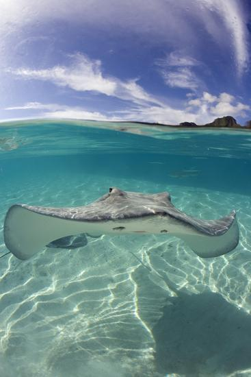Tahitian Stingray in French Polynesia-Stephen Frink-Photographic Print