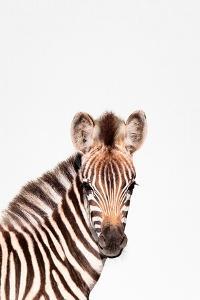 Baby Zebra by Tai Prints