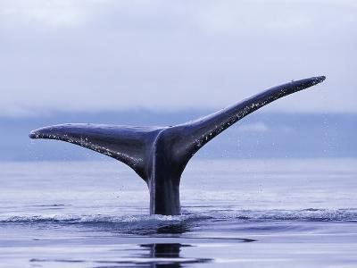 Tail Fin of Humpback Whale Sounding in Frederick Sound-Paul Souders-Photographic Print