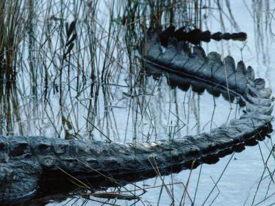 Tail of American Alligator Lies in Shallow Waters-Jeff Foott-Photographic Print