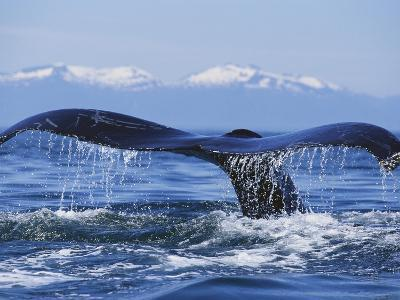 Tail of Surfacing Humpback Whale-Paul Souders-Photographic Print