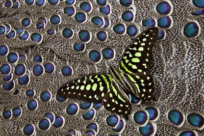 Tailed Jay Butterfly on Grey Peacock Pheasant Feather Design-Darrell Gulin-Photographic Print