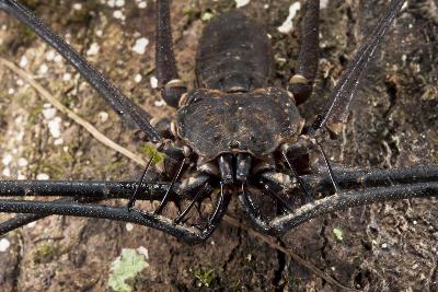 Tailless Whip Scorpion, Yasuni NP, Amazon Rainforest, Ecuador-Pete Oxford-Photographic Print