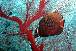 Sea Fan and Butterflyfish by takau99
