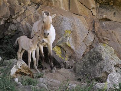 Takhi Mare with Foal, Equus Caballus Przewalskii, Hustain Nuruu National Park, Mongolia-Frans Lanting-Photographic Print