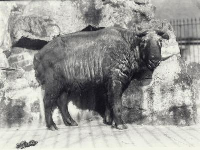 Takin, also known as Cattle Chamois or Gnu Goat, in London Zoo-Frederick William Bond-Photographic Print