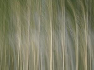 Tall Bare and Blurry Trees Waving in the Wind