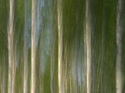 Tall Birch Trees with Pale Trunks and Green Leaves--Photographic Print