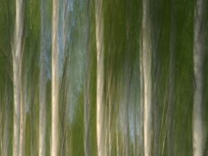 Tall Birch Trees with Pale Trunks and Green Leaves