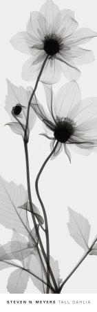 https://imgc.artprintimages.com/img/print/tall-dahlia_u-l-f31s1c0.jpg?p=0