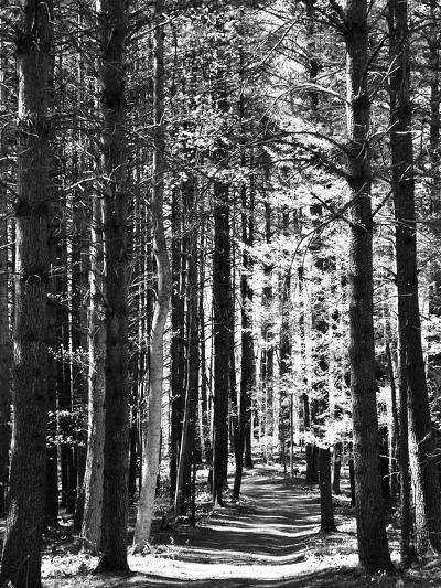 Tall Pine Trees Bordering a Forest Path-Amy & Al White & Petteway-Photographic Print