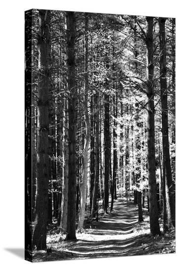Tall Pine Trees Bordering a Forest Path-Amy & Al White & Petteway-Stretched Canvas Print