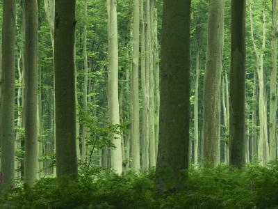 Tall Straight Trunks on Trees in Woodland in the Forest of Lyons, in Eure, Haute Normandie, France-Michael Busselle-Photographic Print