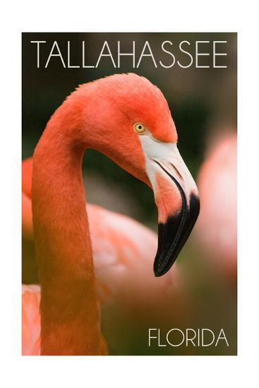 Tallahassee, Florida - Flamingo Up Close-Lantern Press-Art Print