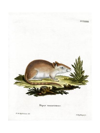 Tamarisk Jird--Giclee Print