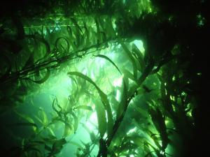 Giant Kelp Forest, California, USA by Tammy Peluso