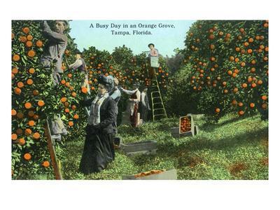 https://imgc.artprintimages.com/img/print/tampa-florida-picking-oranges-scene_u-l-q1gp1gt0.jpg?p=0