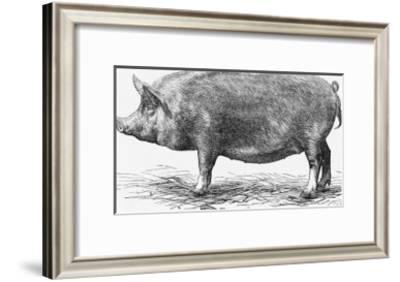 Tamworth Sow--Framed Giclee Print