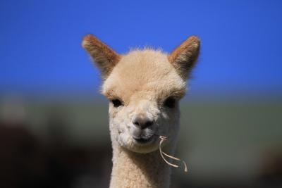 Tan Cria Alpaca-CountrySpecial-Photographic Print