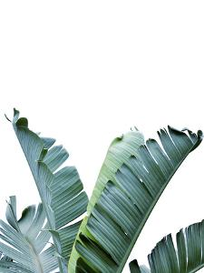 Banana Leaf by Tanya Shumkina