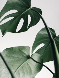 Monstera On Grey by Tanya Shumkina