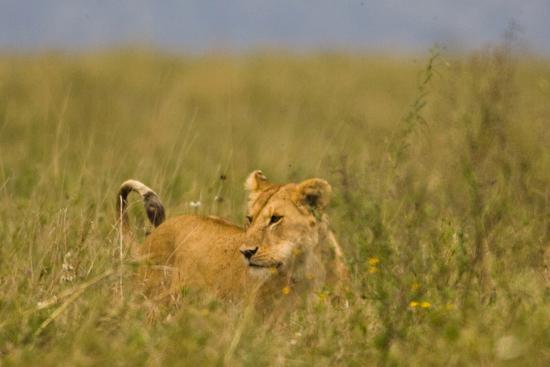 Tanzania, Africa: A Lioness Roams the Tall Grass in Serengeti National Park-Ben Horton-Photographic Print