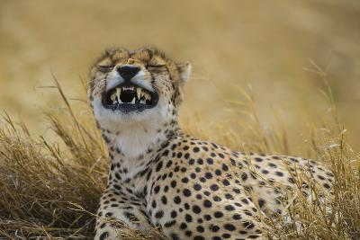 Tanzania, Africa. Cheetah yawning after hunt on the plains of the Serengeti National Park-Ralph H^ Bendjebar-Photographic Print