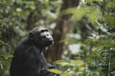 Tanzania, Gombe Stream National Park, Female Chimpanzee-Kristin Mosher-Photographic Print