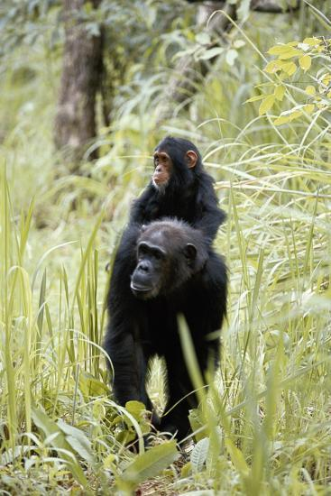Tanzania, Gombe Stream NP, Chimpanzee with Her Baby on Her Back-Kristin Mosher-Photographic Print