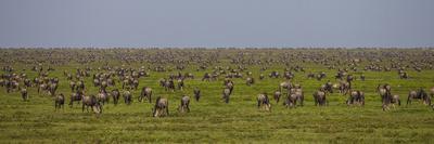 https://imgc.artprintimages.com/img/print/tanzania-wildebeest_u-l-q1d3idd0.jpg?p=0
