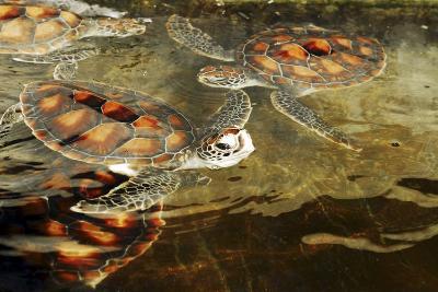 Tanzania, Zanzibar, Nungwi, Mnarani Aquarium, Swimming Turtles-Anthony Asael-Photographic Print