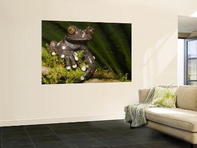 Tapichalaca Tree Frog, Tapichalaca Biological Reserve, Zamora-Chinchipe, Ecuador-Pete Oxford-Wall Mural
