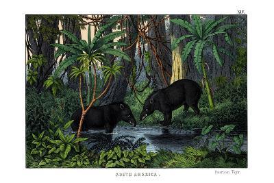 Tapir, 1860--Giclee Print