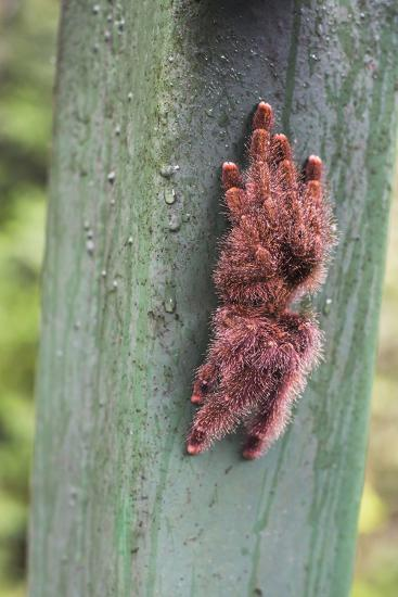 Tarantula, Amazon Rainforest, Coca, Ecuador, South America-Matthew Williams-Ellis-Photographic Print