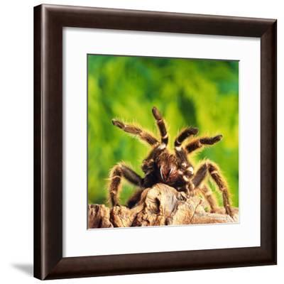 Tarantula, Bird-Eating Spider-Andy Teare-Framed Photographic Print
