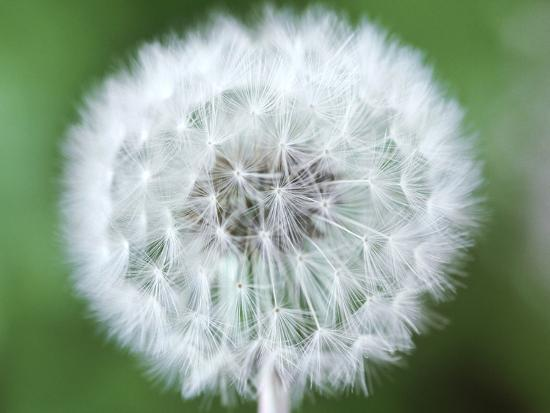Taraxacum Officinale (Dandelion), Close-up of Seed Head-Chris Burrows-Photographic Print